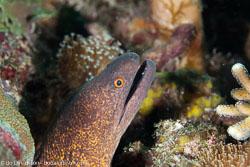 BD-111121-Raja-Ampat-4982-Gymnothorax-javanicus-(Bleeker.-1859)-[Giant-moray].jpg
